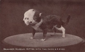 Two headed kitten preserved by Walter Potter.