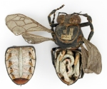 Anatomical model of a bee made from papier-mache.
