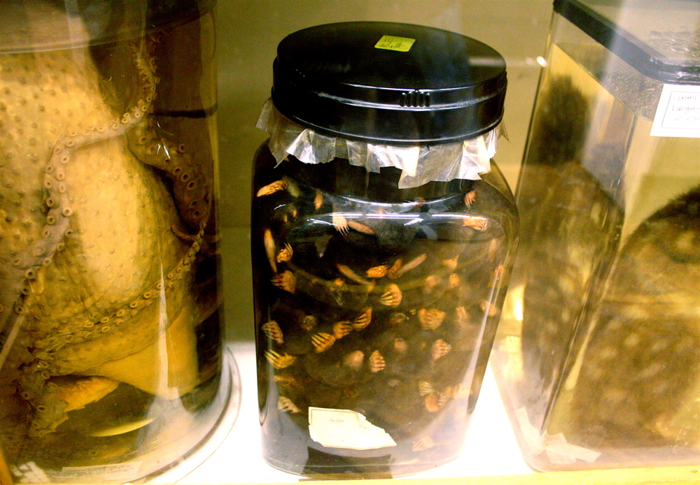 Jar of pickled moles from Grant Museum of Zoology, University College London.