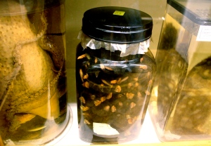 Jar of pickled moles from the Grant Museum of Zoology, University College London.