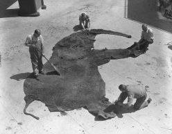 Curators cleaning an elephant skin at the Museum of Natural History.