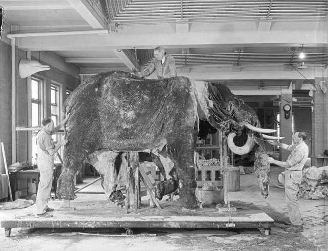 Museum staff cleaning an elephant skin at the American Museum of Natural History, June 1933.