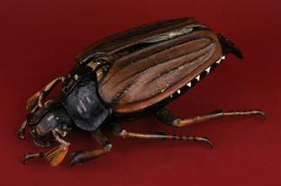 Papier-mâché and plaster model of a May beetle by Dr. Auzoux