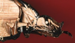 Papier-mâché and plaster anatomical model of a May beetle by Dr. Auzoux, showing details of inner anatomy.