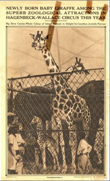 Giraffes behind fence.