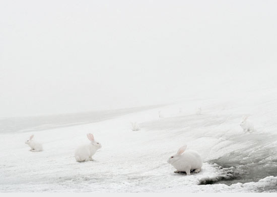 Photograph by Andrea Galvani of white rabbits or bunnies against snow.