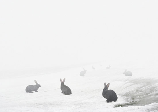 Photography by Andrea Galvani of black rabbits or bunnies against snow.
