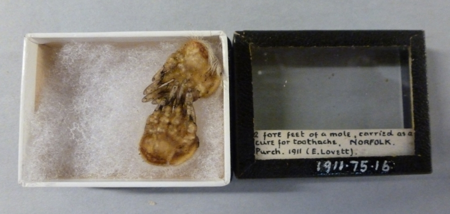 Photograph of two moles feet in a small museum box with handwritten label