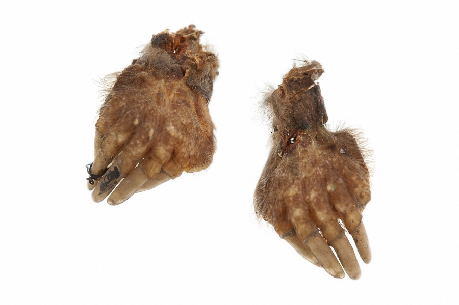 Photograph of two mummified moles' feet used as magical amulets