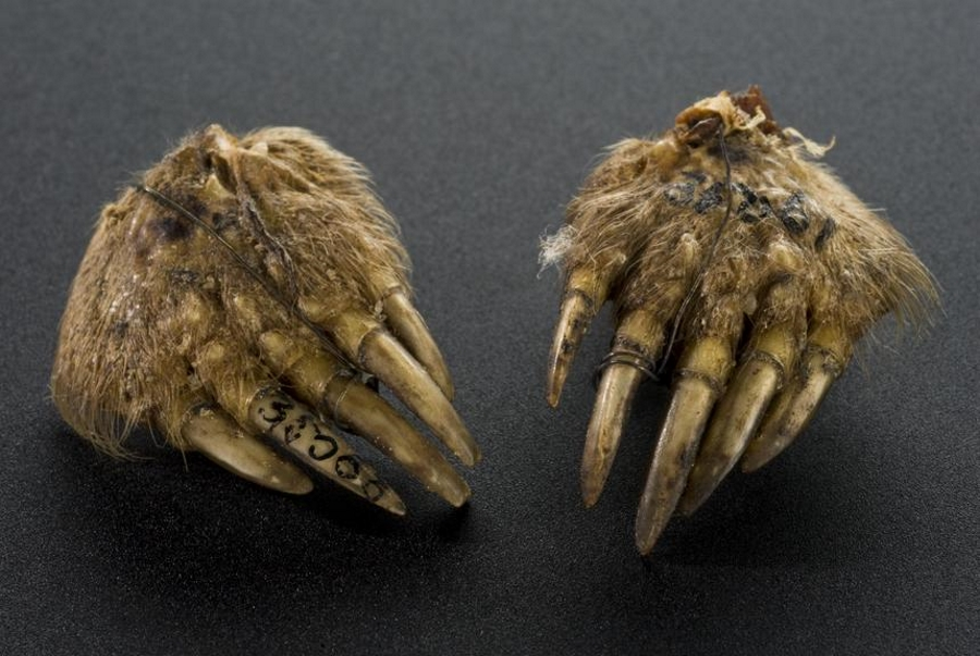 Photograph of two mummified moles' feet