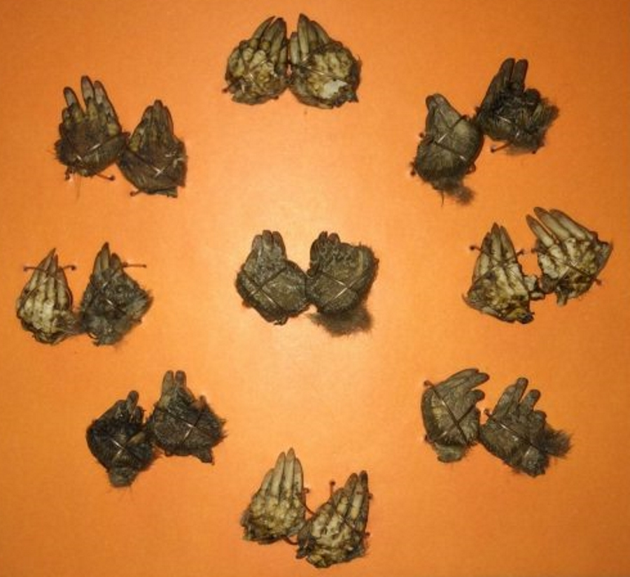 Photograph of nine pairs of moles feet charms against an orange background